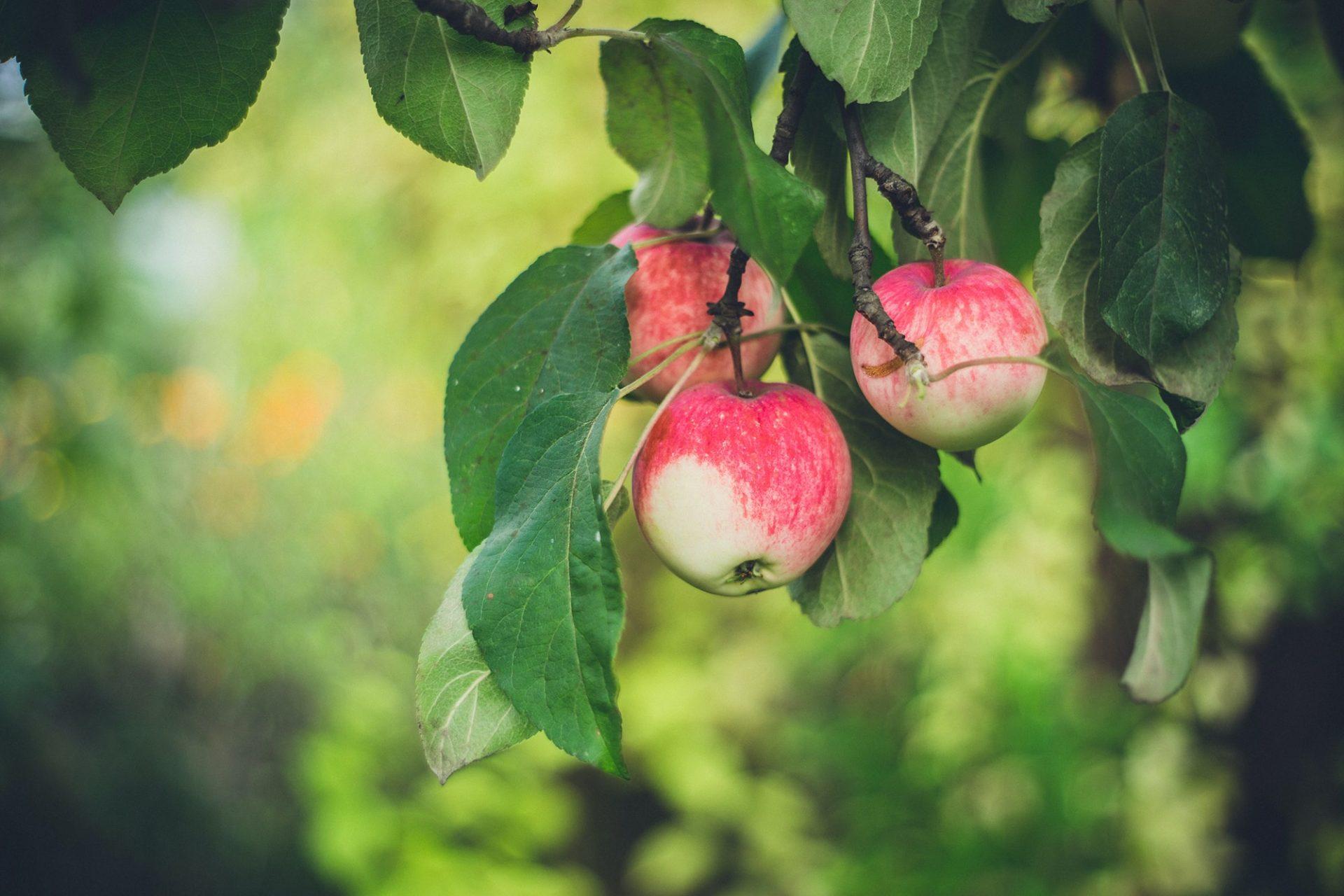 La Manzana, dulce tentación